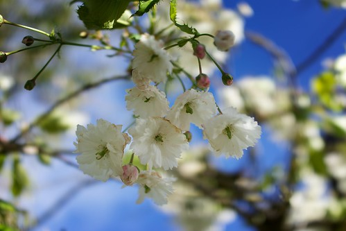 Flowering cherry by Fitzrovia