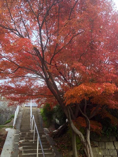 Maple Tree @ Nozaki Temple