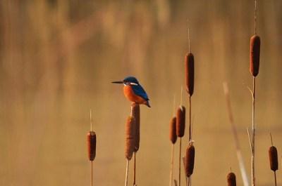The Thoughtful Kingfisher