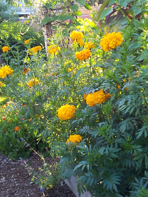 3' Marigolds in the Potager