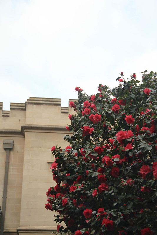 Camelias at Melbourne Uni