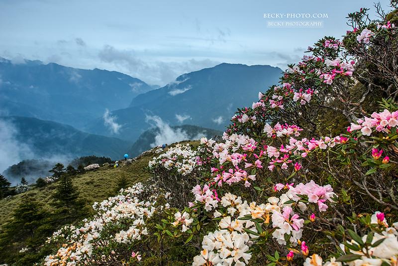 【南投】。合歡山高山杜鵑花攝影! 白色粉色杜鵑花爭艷 Hehuan Mountain