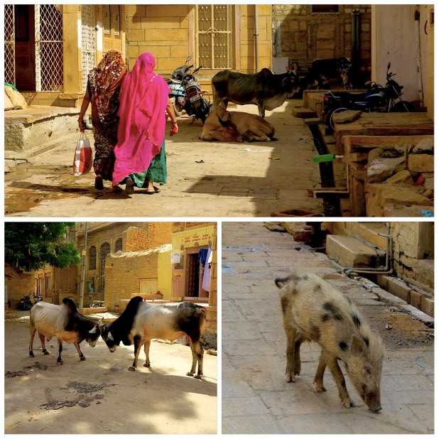 Animales en Jaisalmer