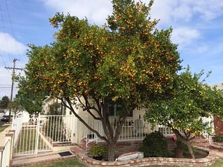 Mandarins and lemons in season. Fall in Los Angeles.