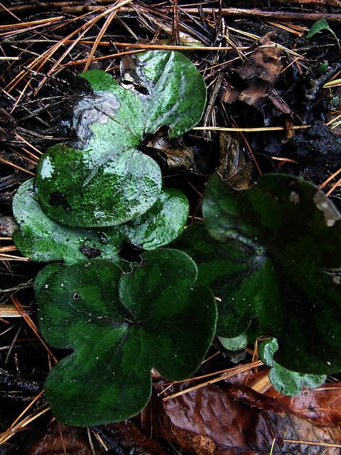 hepatica leaves