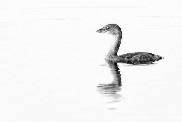 High Key Grebe