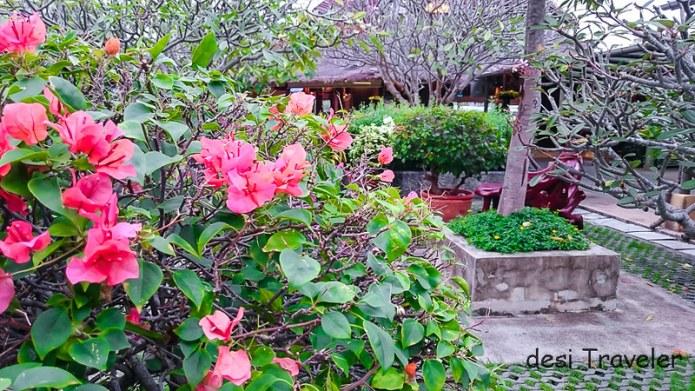 Bougainvillea Flowers and Frangipani Trees