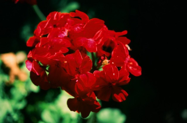 Super-saturated red flower
