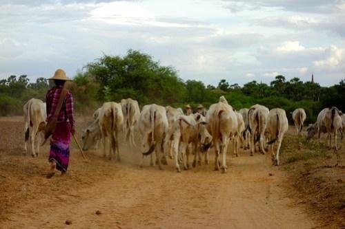 Herding cows Bagan