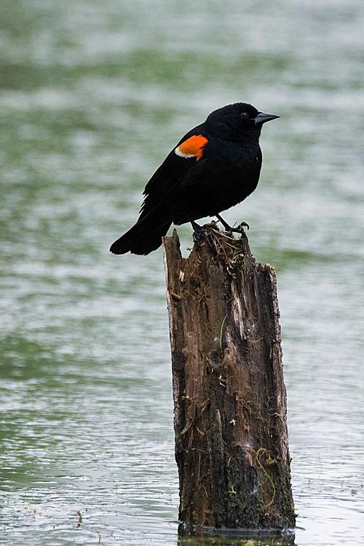 _DSC0492 Red-winged Blackbird