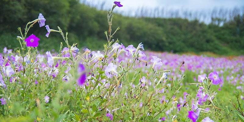 【澎湖】。沒什麼人的紫色馬鞍藤小花園 @[自己的小小世界]Becky攝影
