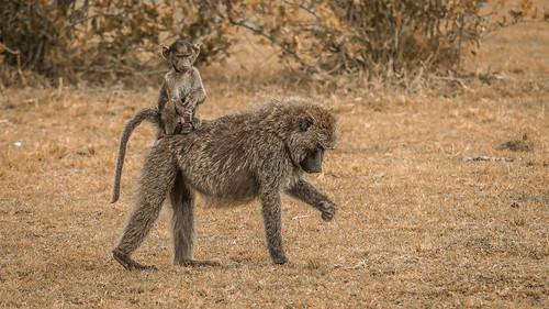 Pavian – Kenya Maasai Mara