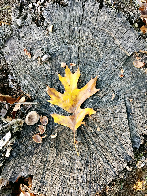 Fall Leaves on a tree stump