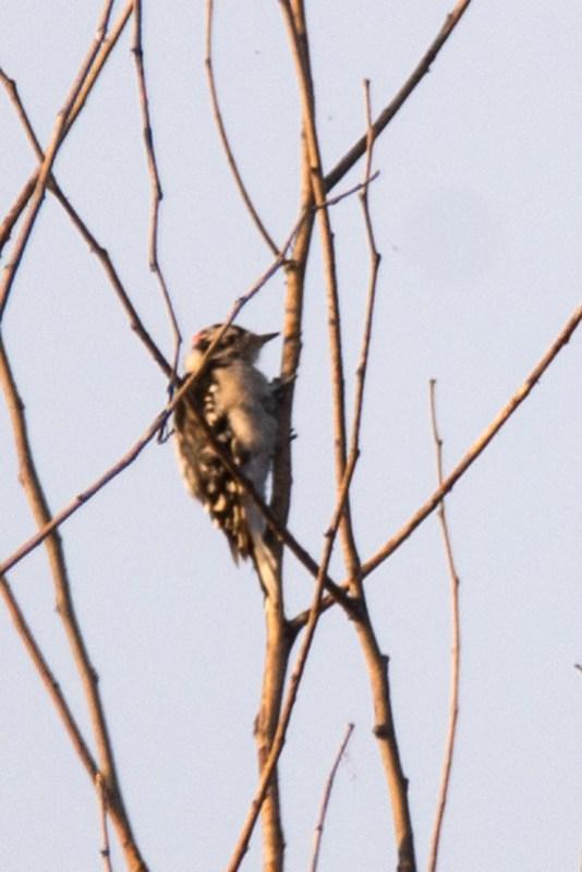 _DSC3021 Downy Woodpecker