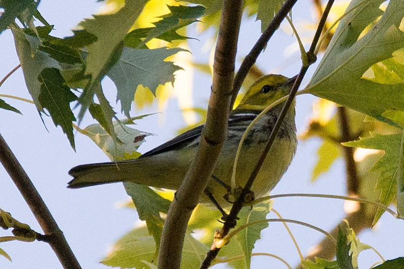 _DSC4627 Black-throated Green Warbler