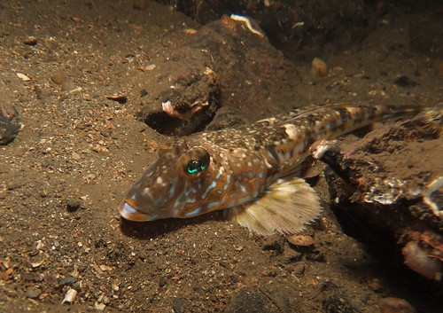 Common Dragonet (Callionymus lyra)