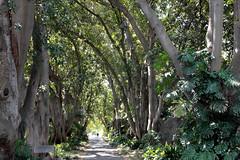 botanic garden trees adelaide