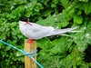 Arctic Tern on a post (3)