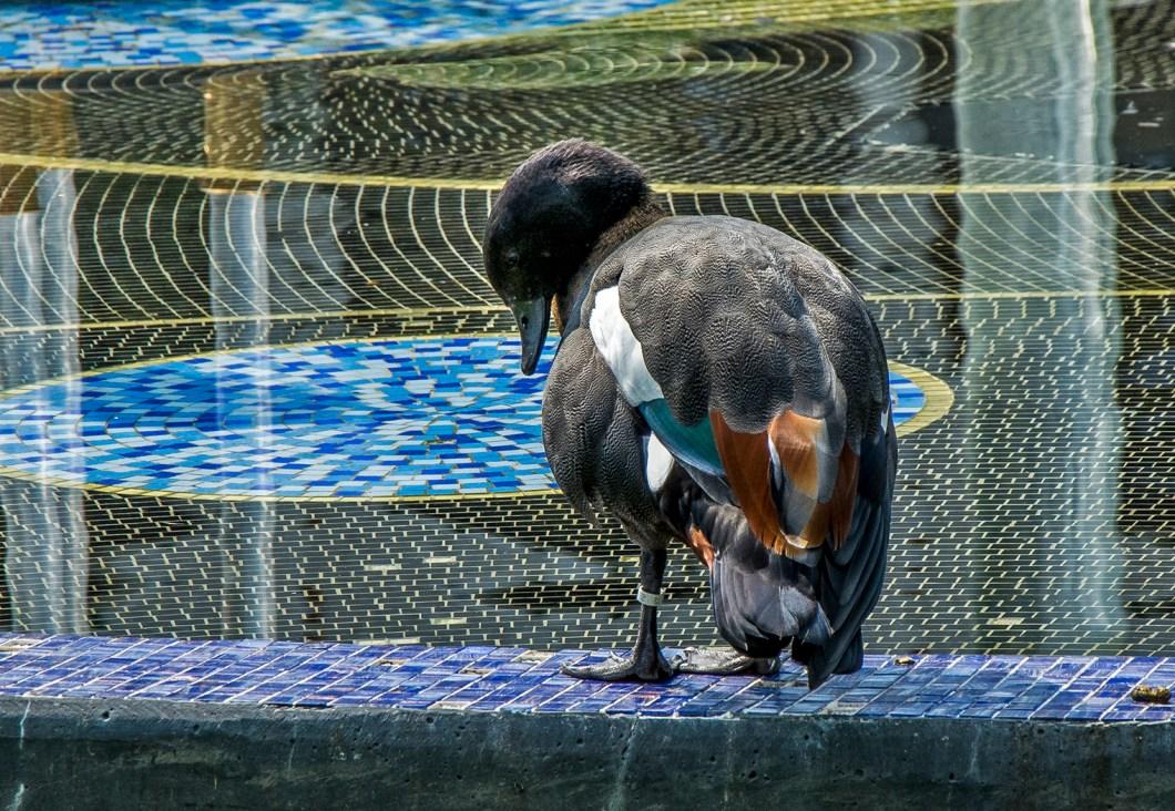 pato a punto de saltar al agua