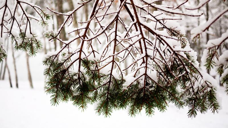 Snowy Tree Maine