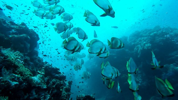 Lots of batfish. Diving Sipadan