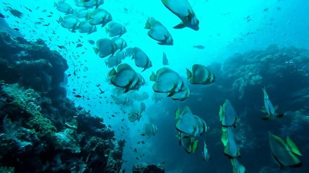 Lots of batfish. Diving Sipadan