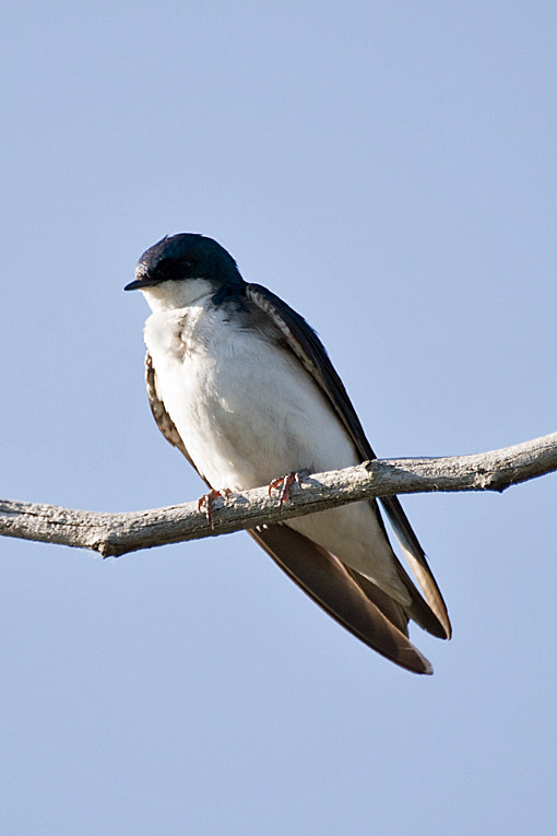 _DSC0756 Tree Swallow