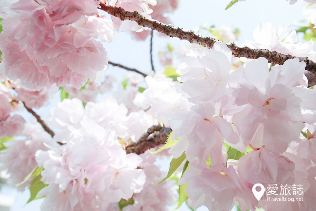 大阪造币局 樱花 12
