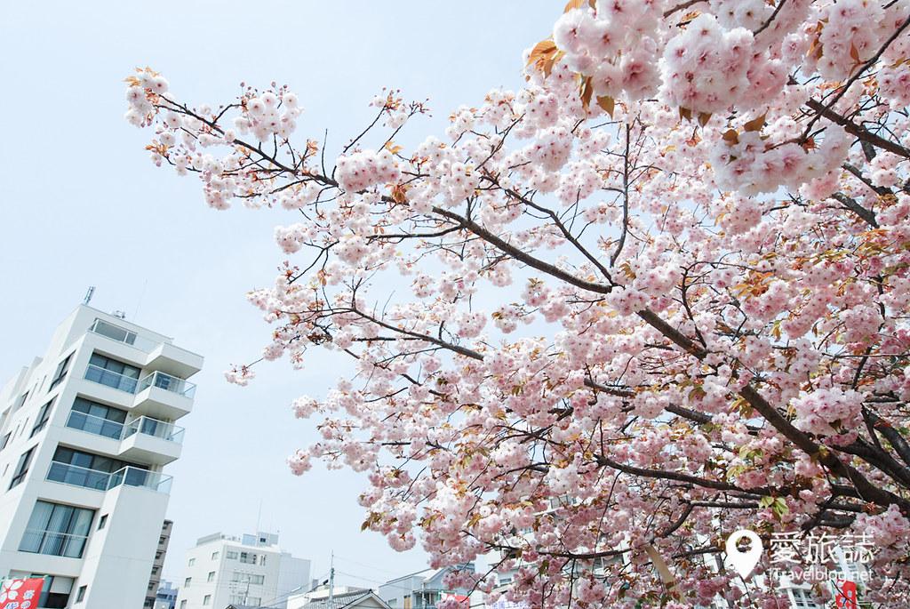 大阪造幣局 櫻花 26