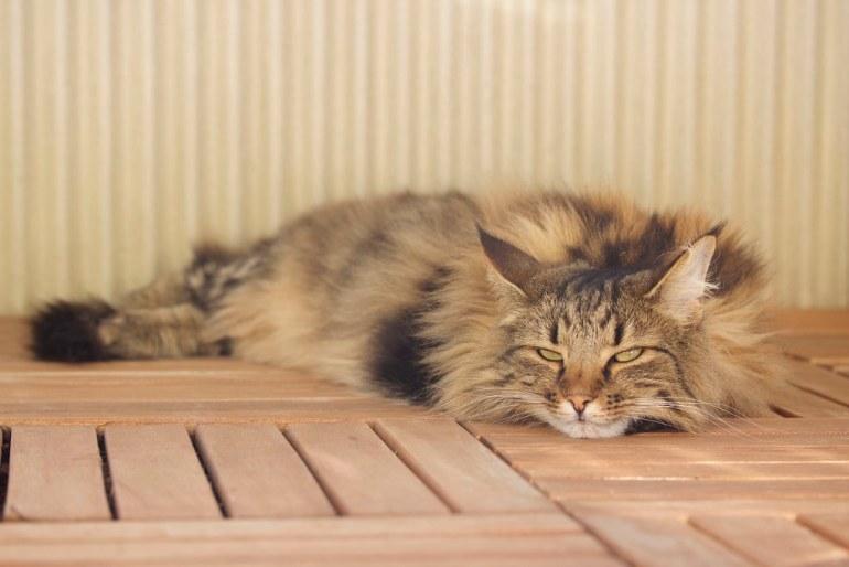 Asla Norwegian Forest Cat
