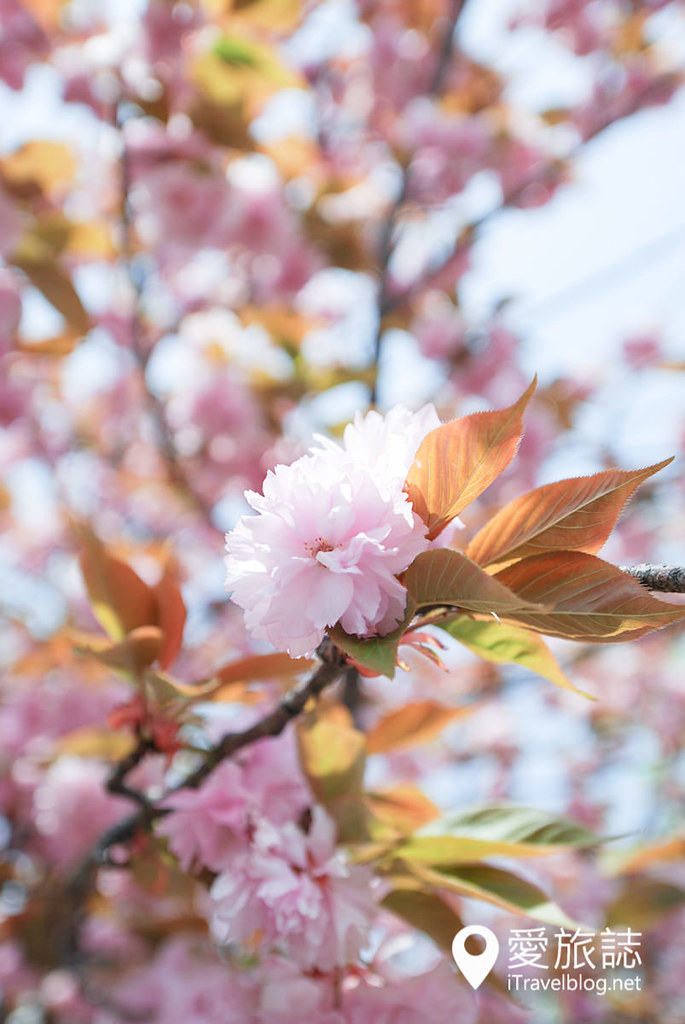 大阪造币局 樱花 22