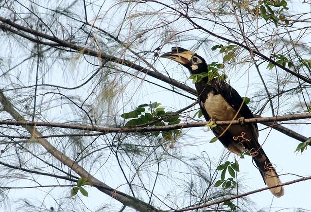 Hornbill at Vivanta by Taj Langkawi - Rebak Island