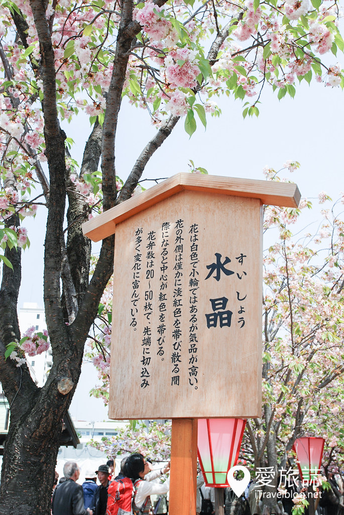 大阪造币局 樱花 14