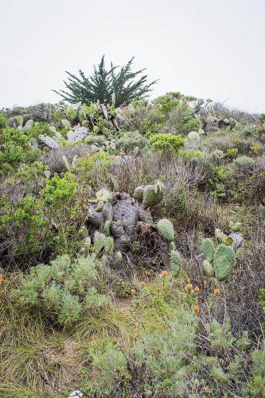 Garrapata State Park Cacti on Mountain