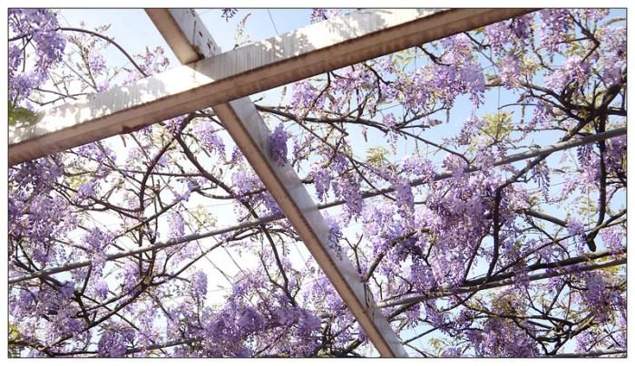 紫藤咖啡園 19