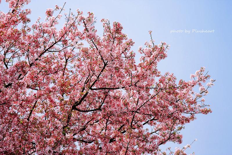 ▌淡水 ▌ 天元宮櫻花滿開