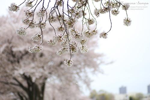 ソメイヨシノ 20150403-IMG_9490