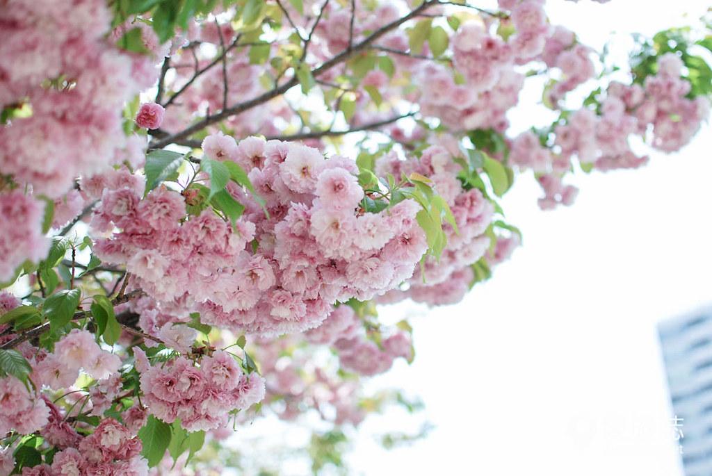 大阪造币局 樱花 36