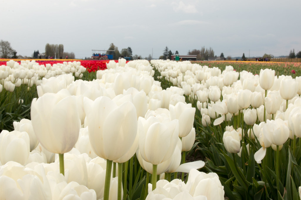 White Tulips Skagit Valley