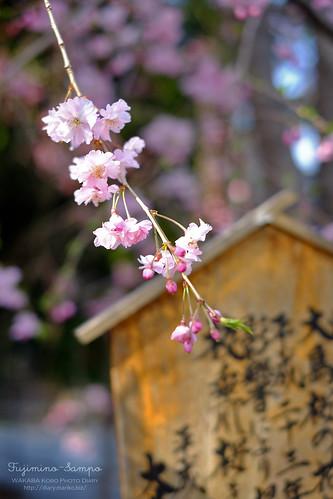 しだれ桜 20150330-DSCF9996