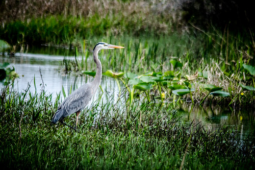 Great Blue Heron-004
