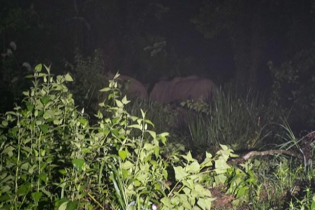 Pygmy elephants! Danum Valley