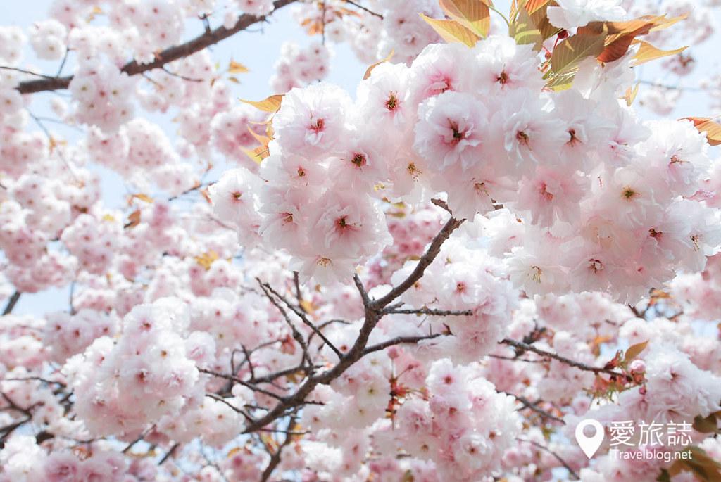 大阪造币局 樱花 28