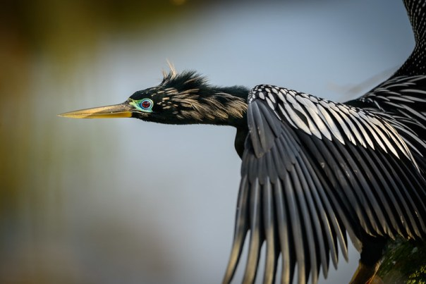 Anhinga close up