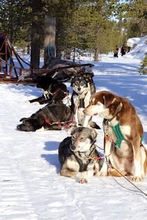 Sunbathing huskies
