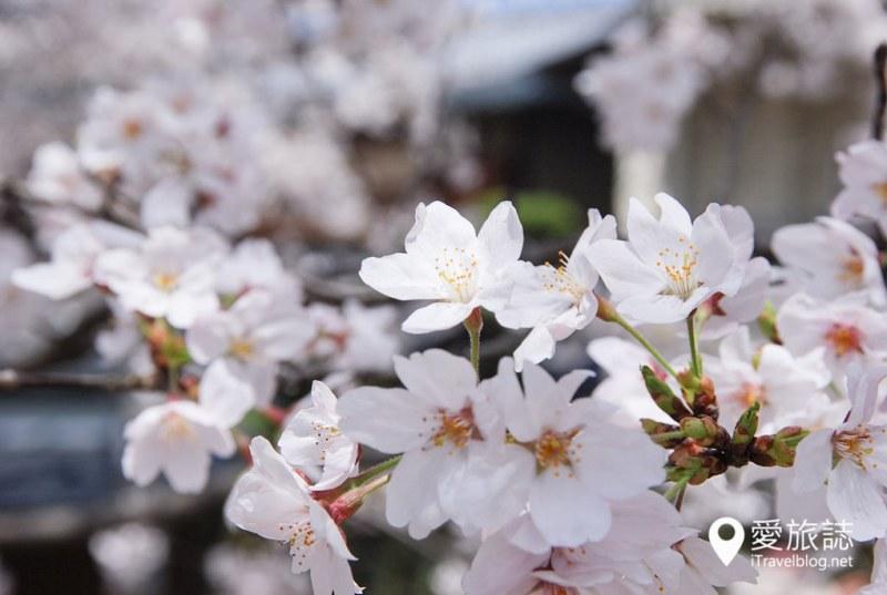 京都赏樱景点 哲学之道 34