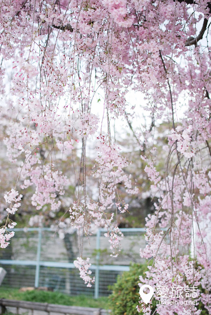 京都赏樱景点 半木之道 39
