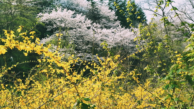 APSAN // Cherry Blossom Hike