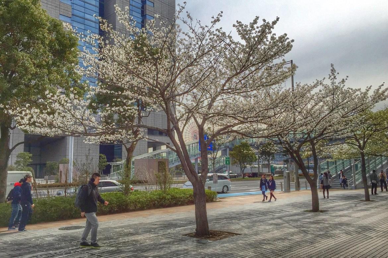 Sakura, Cherry blossoms outside Chibi Maruko Chan Cafe at FUJI TV building Odaiba