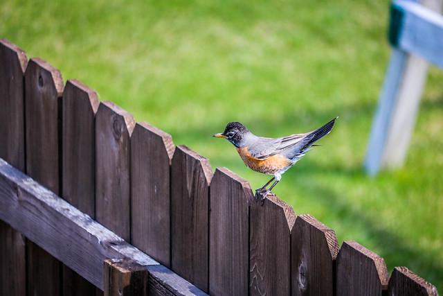 Birdie on my fence....